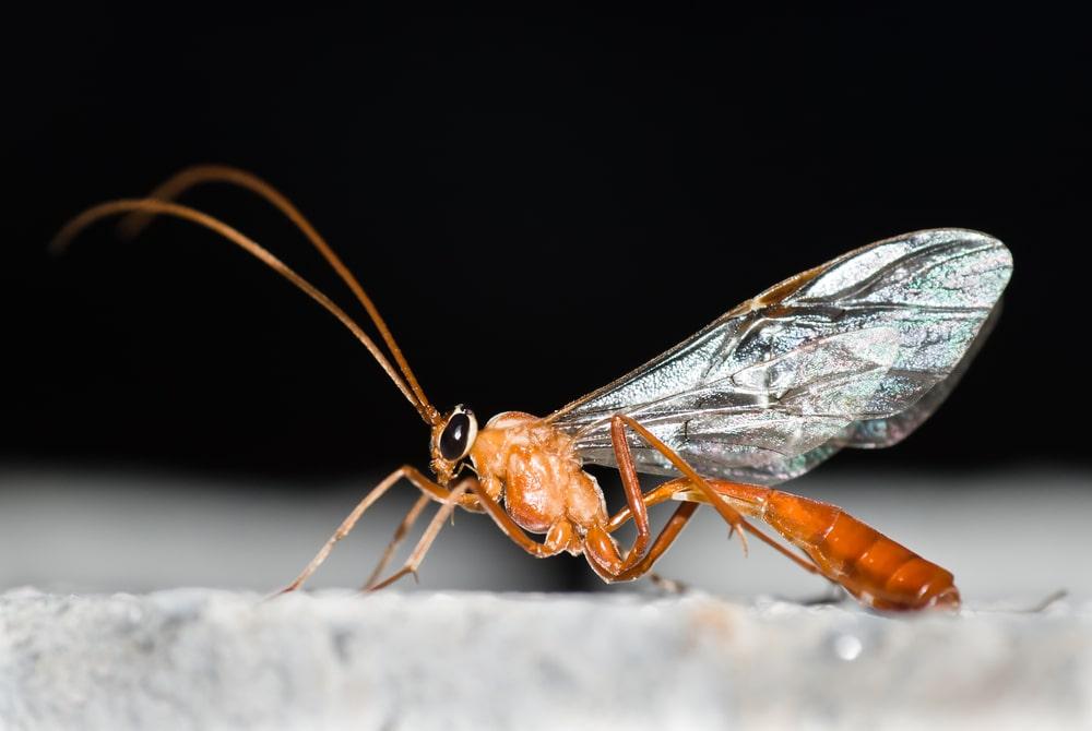 Ichneumoninae - Schlupfwespe