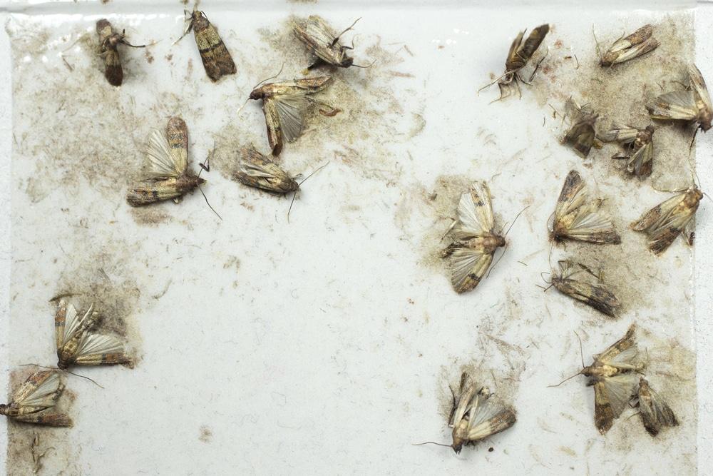 Lebensmittelmotten auf einer Pheromonfalle